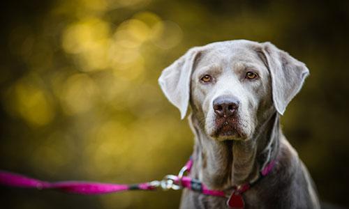 NW-Fotodesign-Tierfotografie-Hund-Labrador-grau