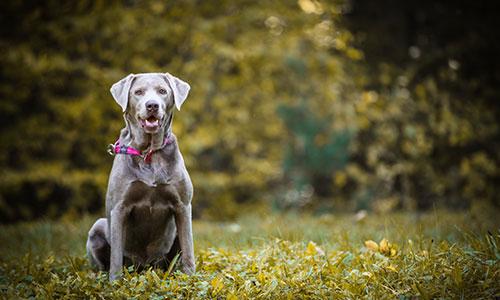 NW-Fotodesign-Tierfotografie-Hund-Labrador