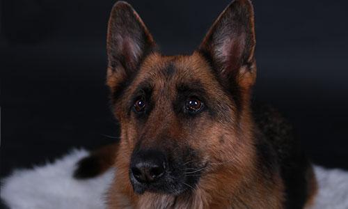 NW-Fotodesign-Tierfotografie-Hund-Schaeferhund-Studio