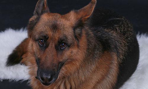 NW-Fotodesign-Tierfotografie-Hund-Schaeferhund